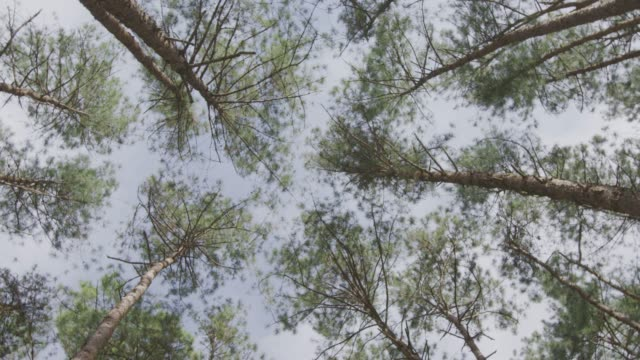 4k ,Pine forest - video