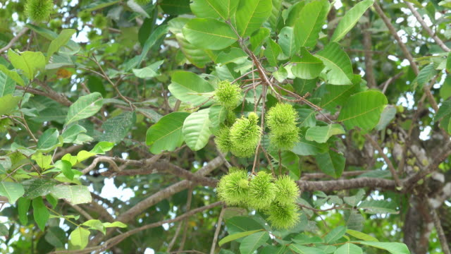 4k Rambutan from green rambutan trees When it is time to harvest, the rambutan will turn into a bright red color.