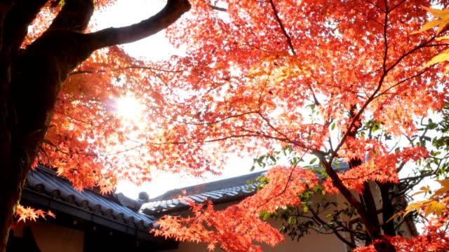 4k Red maple leaves in sunlight video
