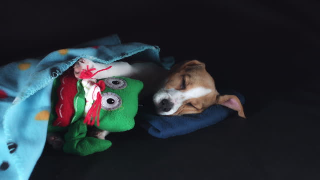 4k Shot of a Beagle Puppy Dog Sleeping with his Toy, zoom in video