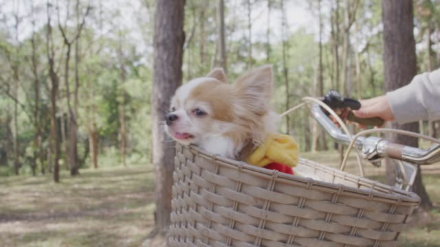 4k slo mo, Chihuahua dog in basket of bicycle