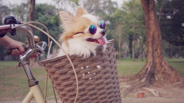 4k slo mo, chihuahua dog in basket of bicycle - fare la lingua video stock e b–roll