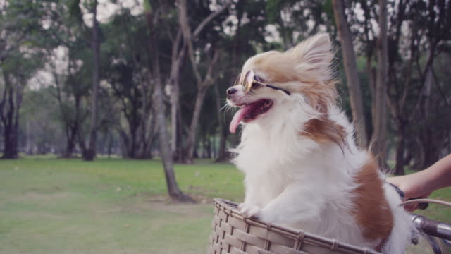 4k slo mo, chihuahua dog with sunglasses on bicycle basket - cestino della bicicletta video stock e b–roll