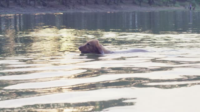4k slo mo ,Dog swimming in the lake