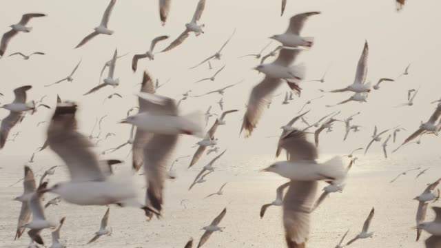4k slo mo , Large group of Seagull flying at sunset