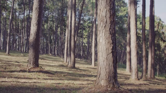 4k slo mo,Dolly shot Pine trees in forest