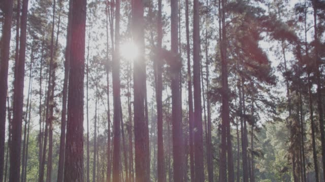 4k slo mo,Dolly shot pine trees in forest - vídeo