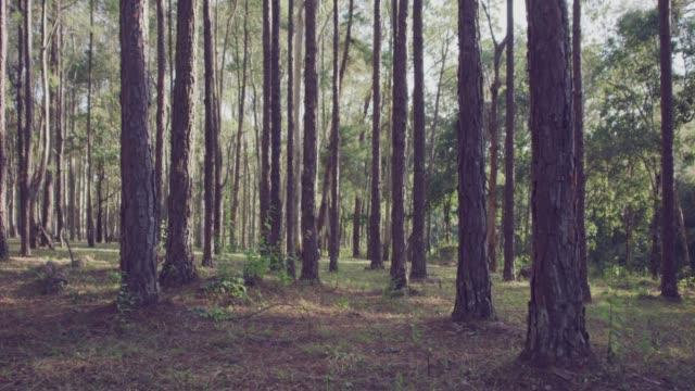 4 k-Slo-Mo, erschossen Dolly Sonne durch Kiefern im Wald – Video