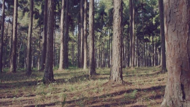 4k slo mo,Dolly shot Sunlight through Pine forest