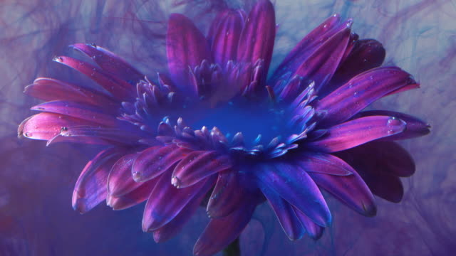 vídeos de stock e filmes b-roll de 4k slow motion purple ink and daisy flower in water. - violeta flor