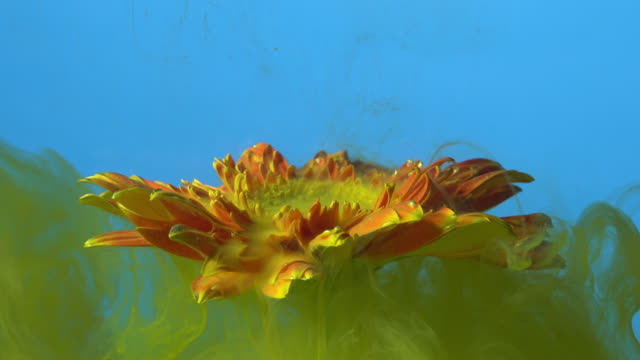 4k Slow motion Yellow ink and daisy flower in water.