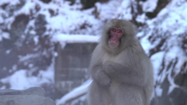 4k: kar kaplıca maymun - japon makak maymunu stok videoları ve detay görüntü çekimi