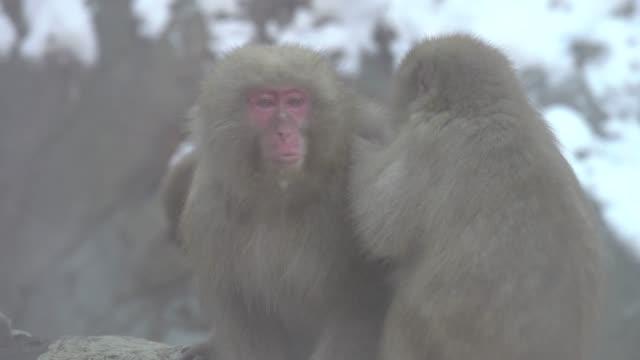 4k: kar maymunları aile - japon makak maymunu stok videoları ve detay görüntü çekimi