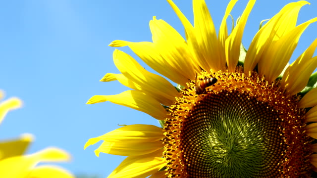 4k, Sunflower and bee in clear blue sky