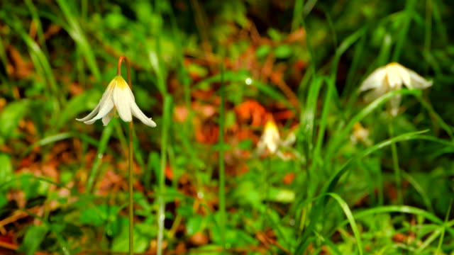 4k Tilt Up Medium Wide Angle Shot of White Fawn Lily, Erythronium Oregonum video
