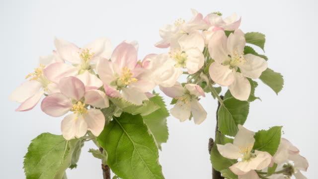 4k timelapse of an apple tree white flower blossom bloom and grow on a white background. blommande blomma av malus domestica. liten vit blomma, växer och blommar på vit bakgrund. - äppelblom bildbanksvideor och videomaterial från bakom kulisserna