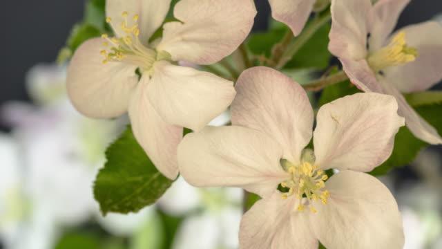 4k timelapse of an apple tree white flower blossom bloom and grow on a black background. blommande blomma av malus domestica. liten vit blomma, växer och blommar på svart bakgrund. - äppelblom bildbanksvideor och videomaterial från bakom kulisserna