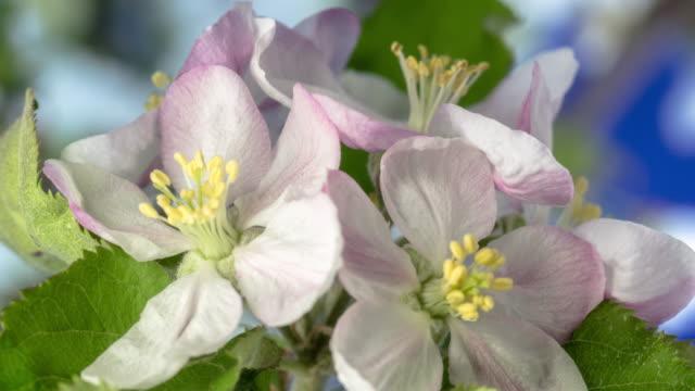 4k timelapse of an apple tree white flower blossom bloom and grow on a blue background. blommande blomma av malus domestica. liten vit blomma, växer och blommar på blå bakgrund. - äppelblom bildbanksvideor och videomaterial från bakom kulisserna