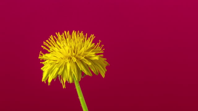 4k timelapse of an Dandalion flower rotating, blossom bloom and grow on a red background. Blooming flower of Taraxacum officinale.