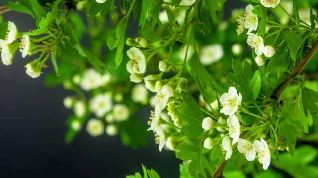 4k timelapse of an Thornapple tree flower growing and moving on a black background. Blooming flower of Crataegus.