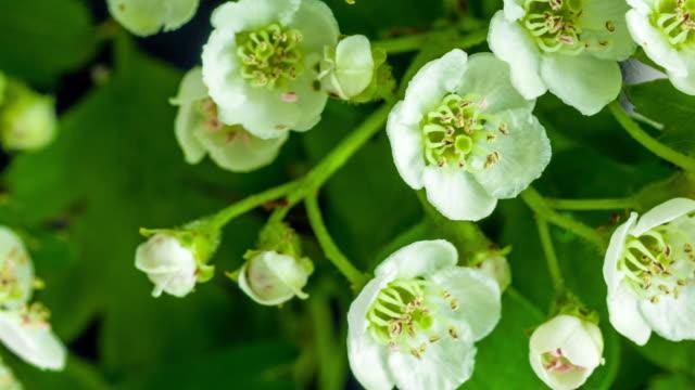 4k timelapse av en thornapple träd blomma växer och rör sig på en svart bakgrund. blommande blomma av crataegus. - äppelblom bildbanksvideor och videomaterial från bakom kulisserna