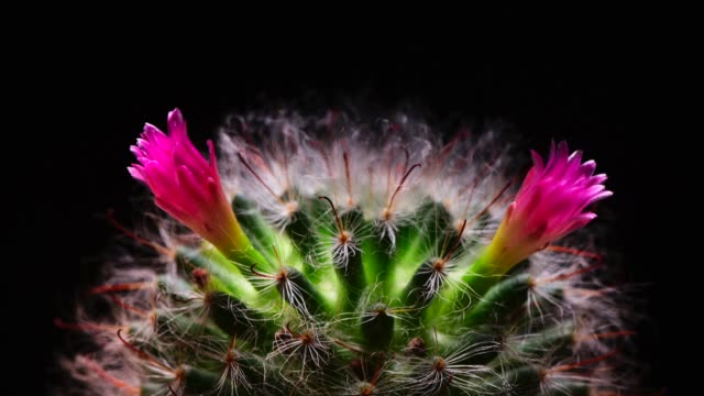 4k : Time-lapse Opening white Gymnocalycium flower buds, Timelapse Cactus flowers blooming