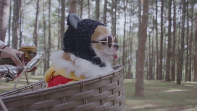 4k spårning med chihuahua hund i korg av cykel - hunddjur bildbanksvideor och videomaterial från bakom kulisserna