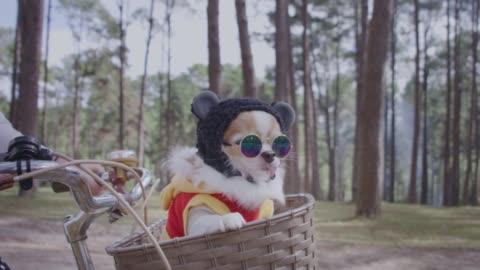 tracciamento 4k con cane chihuahua nel cesto di bicicletta - carino video stock e b–roll