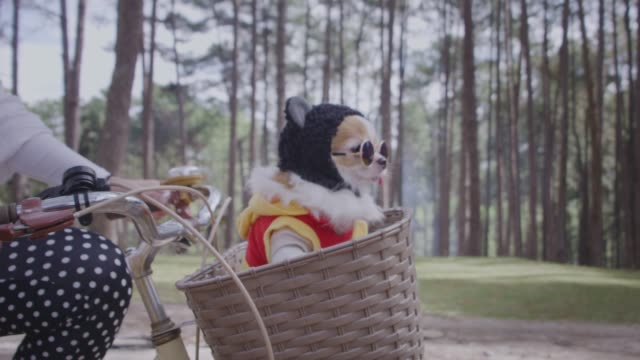 vídeos de stock e filmes b-roll de 4k tracking with happy chihuahua dog in basket of bicycle - pets