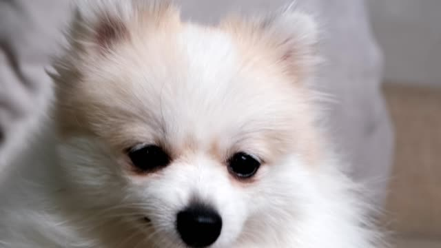 4k uhd cute relax white hair pomeranian dog look at camera smile with tongue out clam and relax enjoy panting after playing on sofa couch living room home background 4k uhd cute relax white hair pomeranian dog look at camera smile with tongue out clam and relax enjoy panting after playing on sofa couch living room home background panting stock videos & royalty-free footage