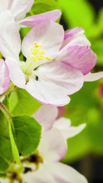 4k vertikal timelapse av en äppelträd blomma blomma blomma och växa på en svart bakgrund. blommande blomma av malus domestica. vertikal tid förfaller i 9:16 förhållande mobiltelefon och sociala medier redo. - äppelblom bildbanksvideor och videomaterial från bakom kulisserna