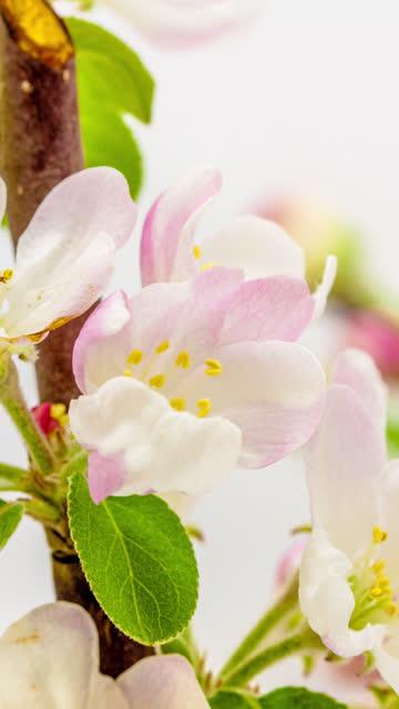 4k vertikal timelapse av en apple träd blomma blomma blomma och växa på en vit bakgrund. blommande blomma av malus domestica. vertikal tid förfaller i 9:16 förhållande mobiltelefon och sociala medier redo. - äppelblom bildbanksvideor och videomaterial från bakom kulisserna