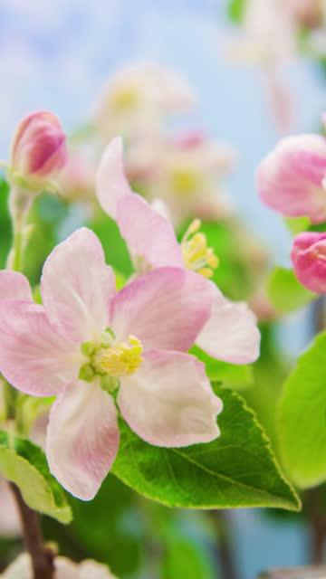 4k vertikal timelapse av en äppelträd blomma blomma blomma och växa på en blå bakgrund. blommande blomma av malus domestica. vertikal tid förfaller i 9:16 förhållande mobiltelefon och sociala medier redo. - äppelblom bildbanksvideor och videomaterial från bakom kulisserna