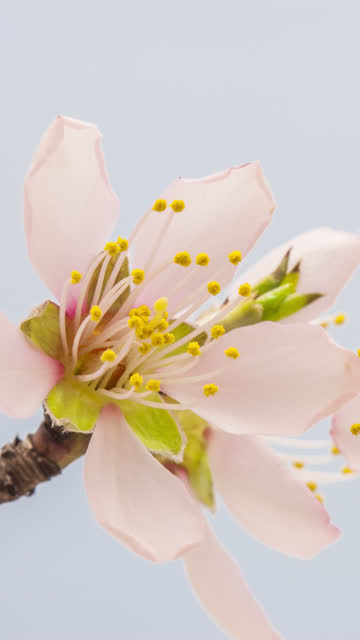 4k vertical timelapse of an Apricot Flower flower blossom bloom and grow on a blue background. Blooming flower of Prunus armeniaca. Vertical time lapse in 9:16 ratio mobile phone and social media ready.