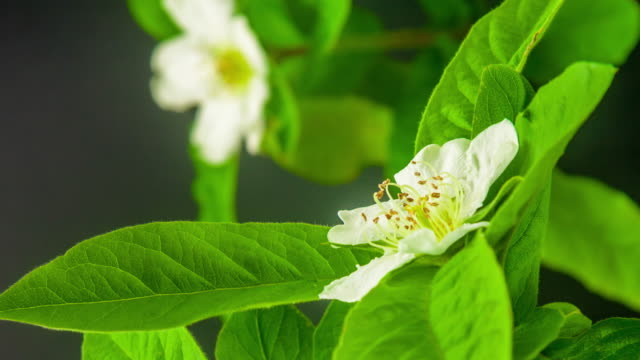 4k vertical timelapse of an Common Medlar Flower blossom bloom and grow on a black background. Blooming flower of Mespilus germanica. Vertical time lapse in 9:16 ratio mobile phone and social media ready.