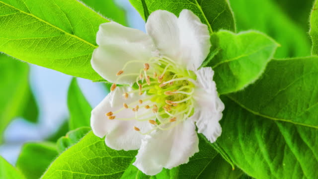 4k vertical timelapse of an Common Medlar Flower blossom bloom and grow on a blue background. Blooming flower of Mespilus germanica. Vertical time lapse in 9:16 ratio mobile phone and social media ready.