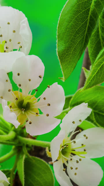 4k vertical timelapse of an Pear Flower blossom bloom and grow on a green background. Blooming flower of Pyrus. Vertical time lapse in 9:16 ratio mobile phone and social media ready.