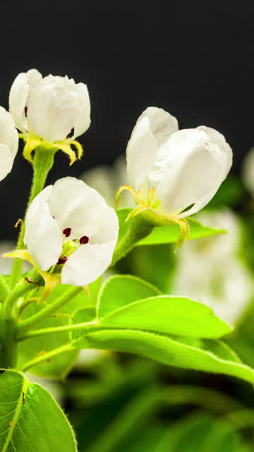 4k vertical timelapse of an Pear Flower blossom bloom and grow on a black background. Blooming flower of Pyrus. Vertical time lapse in 9:16 ratio mobile phone and social media ready.