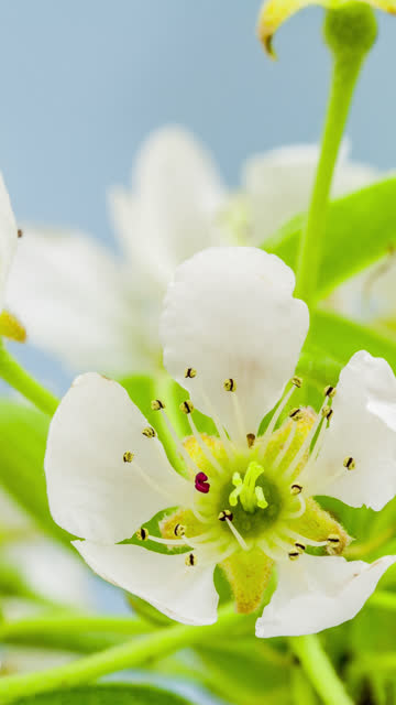 4k vertical timelapse of an Pear Flower blossom bloom and grow on a blue background. Blooming flower of Pyrus. Vertical time lapse in 9:16 ratio mobile phone and social media ready.