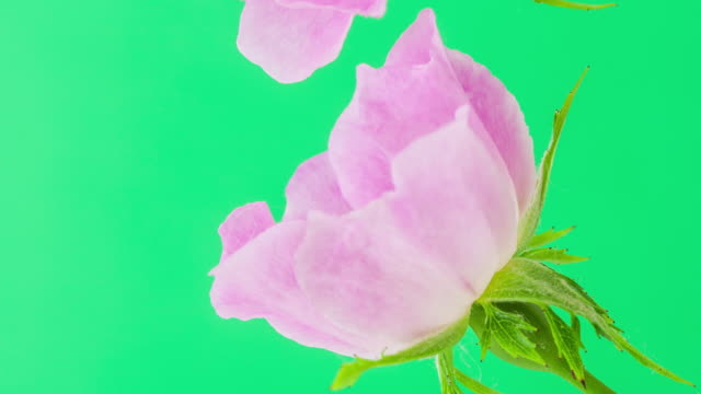 4k vertical timelapse of an Rose Flower blossom bloom and grow on a green background. Blooming flower of Rosa. Vertical time lapse in 9:16 ratio mobile phone and social media ready.