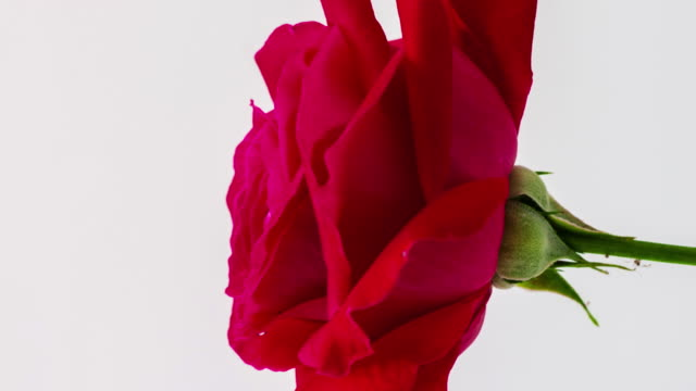 vídeos de stock e filmes b-roll de 4k vertical timelapse of an rose flower blossom bloom and grow on a white background. blooming flower of rosa. vertical time lapse in 9:16 ratio mobile phone and social media ready. - flower white background