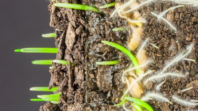 timelapse verticale 4k di un grano che cresce da seme su sfondo nero. triticum aestivum che cresce dal seme. time lapse verticale in 9:16 rapporto telefono cellulare e social media pronti. - composizione digitale video stock e b–roll