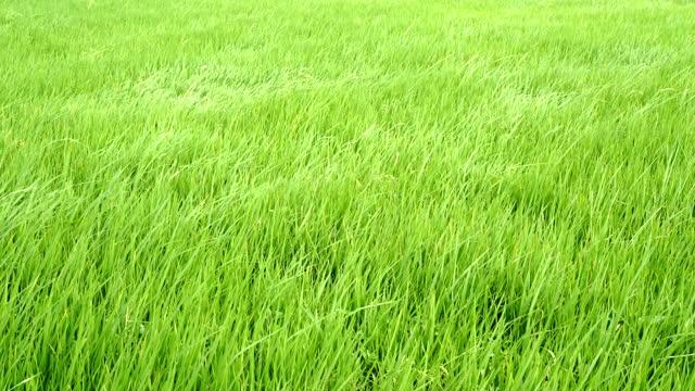 vídeos de stock, filmes e b-roll de 4k vídeo de rice green meadow balançando com vento forte acenando em cena de campo verde hora do dia - alto descrição geral