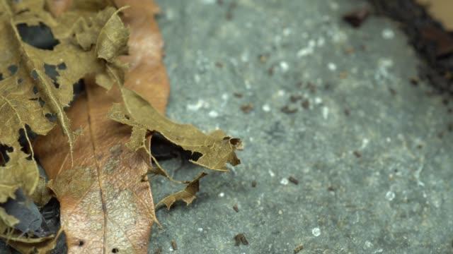 4k video of dung bug hidden between fallen leaves and stones