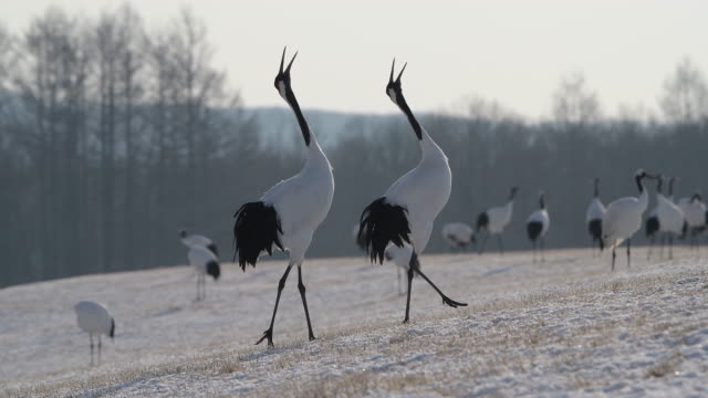 4k video of red crowned crane