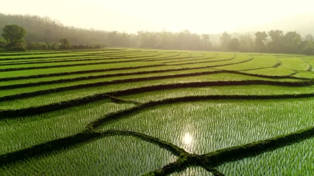stockvideo's en b-roll-footage met 4 k video shot luchtfoto door drone. rice field op de zonsopgang. - japan