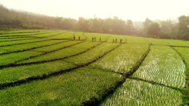 4k video shot aerial view by drone. rice field on sunrise. - pole ryżowe filmów i materiałów b-roll