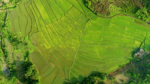 4k Video shot aerial view by drone. Rice Field on sunrise. video