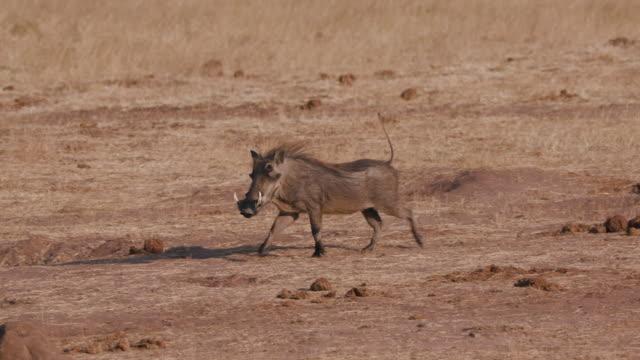 4k view of a warthog approaching a waterhole to drink, Hwange National Park, Zimbabwe