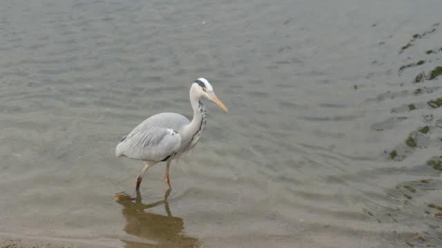 4k White Egret in the park, kyoto, japan